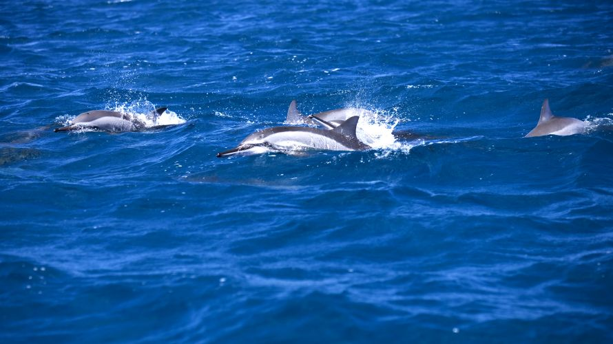 Dolphins off the coast of Mauritius